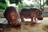 Rīgas zoodārza, 22. gadus vecais, nīlzirgs Funtiks izrādās meitene