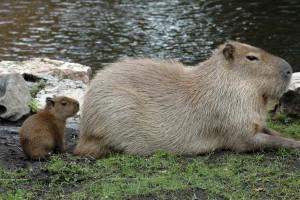 ZOO_kapibara